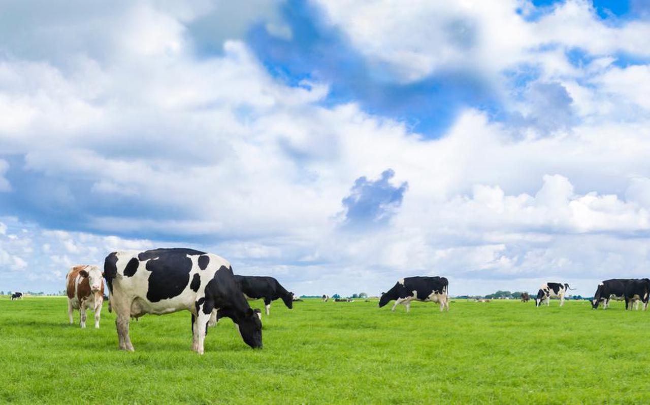 Koeien in de wei.