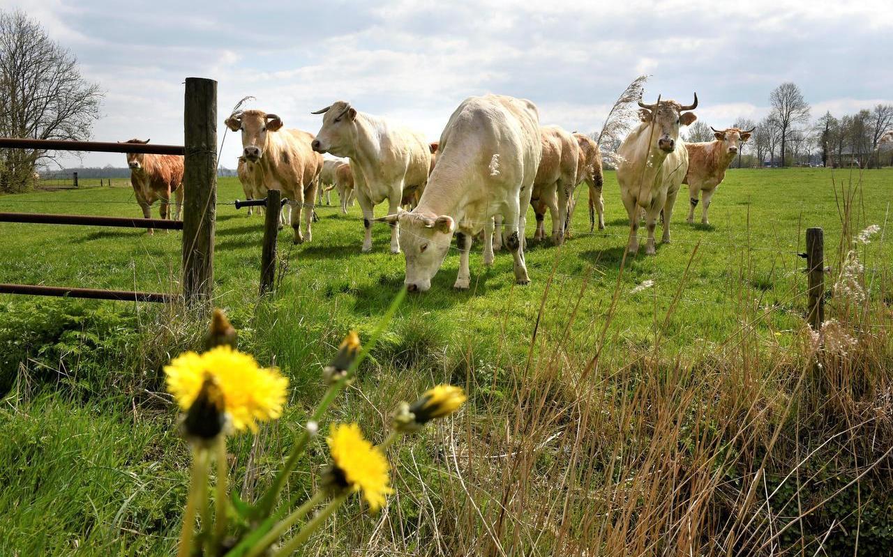 Koeien in een weiland bij Gersloot, waar het onderzoek in de regio plaatsvond.  Foto: Marchje Andringa