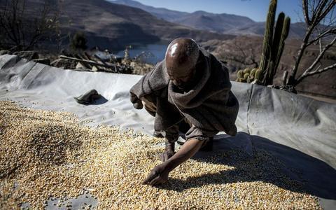 Een Afrikaanse boer sorteert zijn geoogste graan. In het landbouwprogramma AGRA worden boeren gezien als consument van de zaden en diensten die het programma en zijn partnerbedrijven aanbieden.