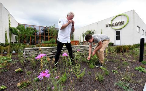 Kok Albert Kooy met tuinontwerper Lennart Woelinga plukken de plant bijvoet in de tuin van Wannee.