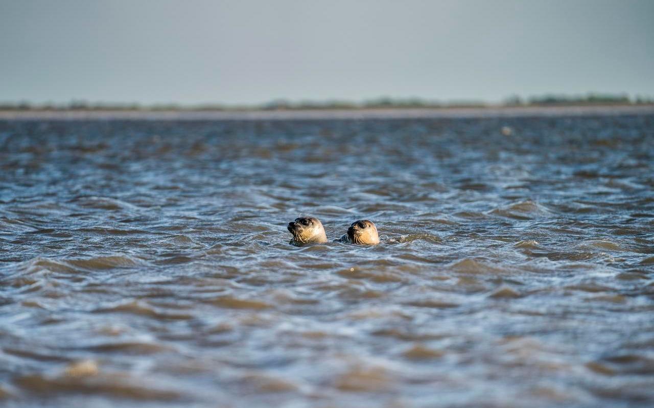 Zeehonden in de Waddenzee.