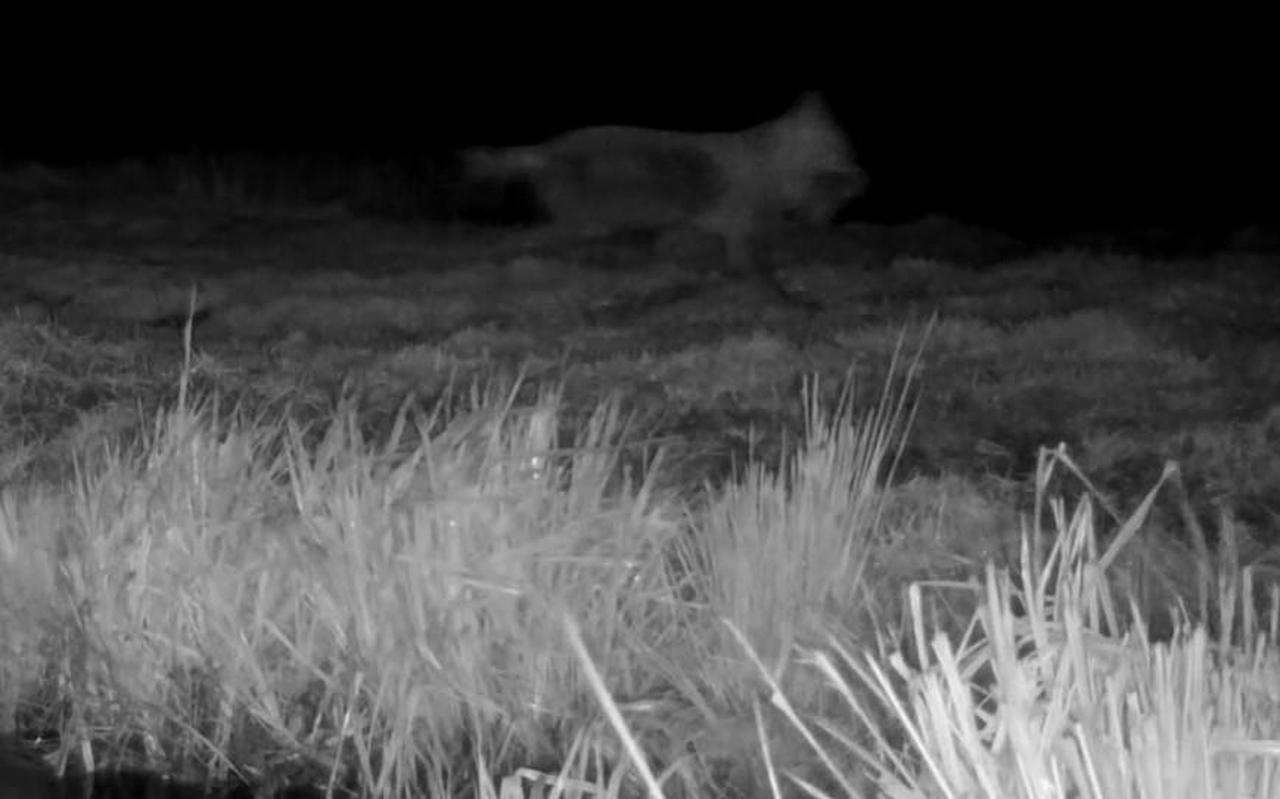 In de nacht van dinsdag op woensdag maakte It Fryske Gea met een pas opgehangen nachtcamera dit beeld van een wolf in De Alde Feanen.