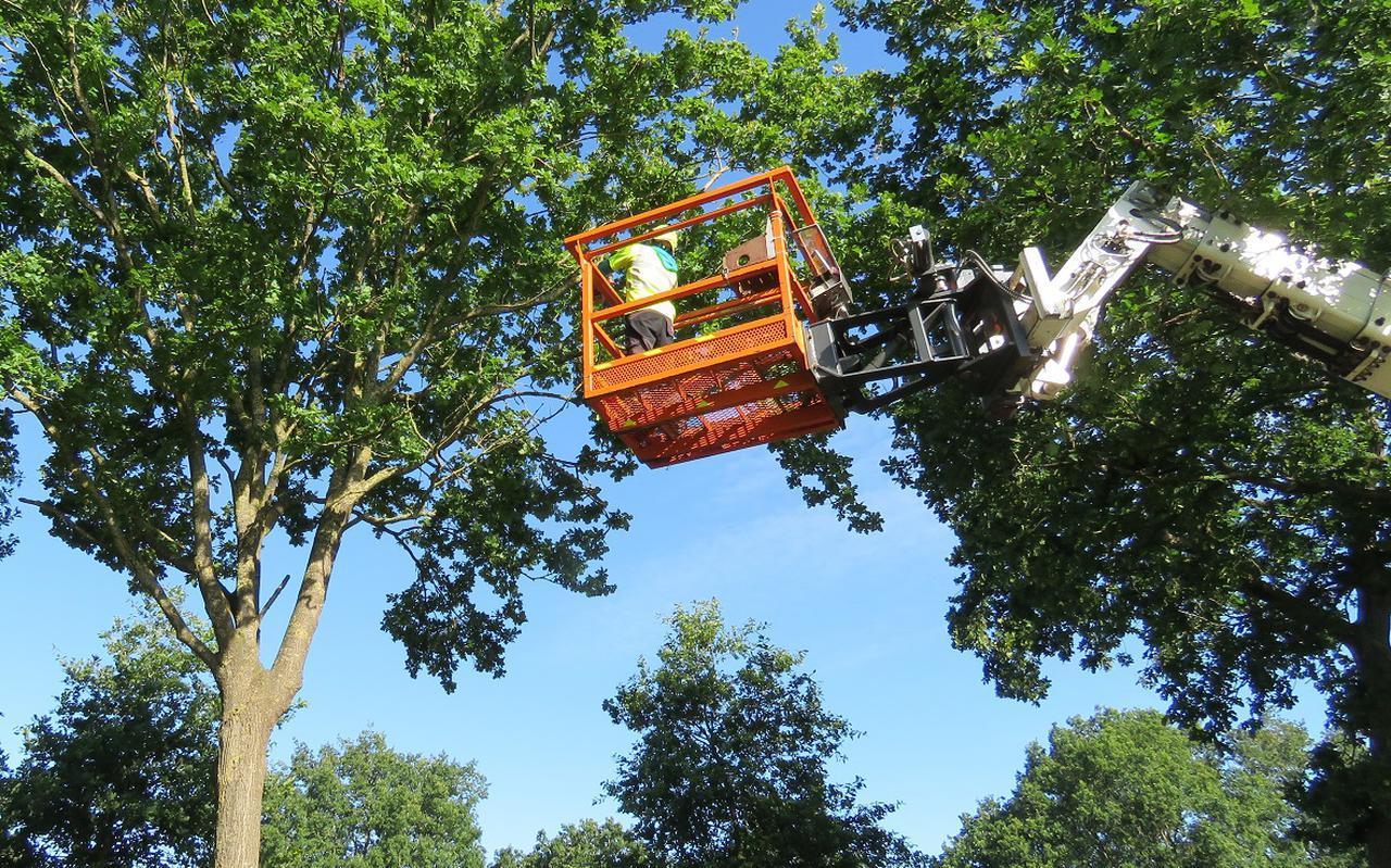 Met een stok wordt het feromoon in de top van de boom aangebracht.