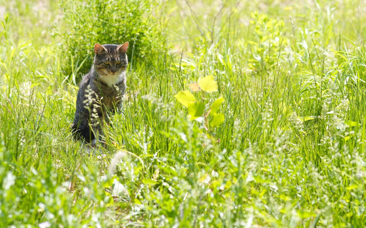 Een verwilderde kat in het weiland.