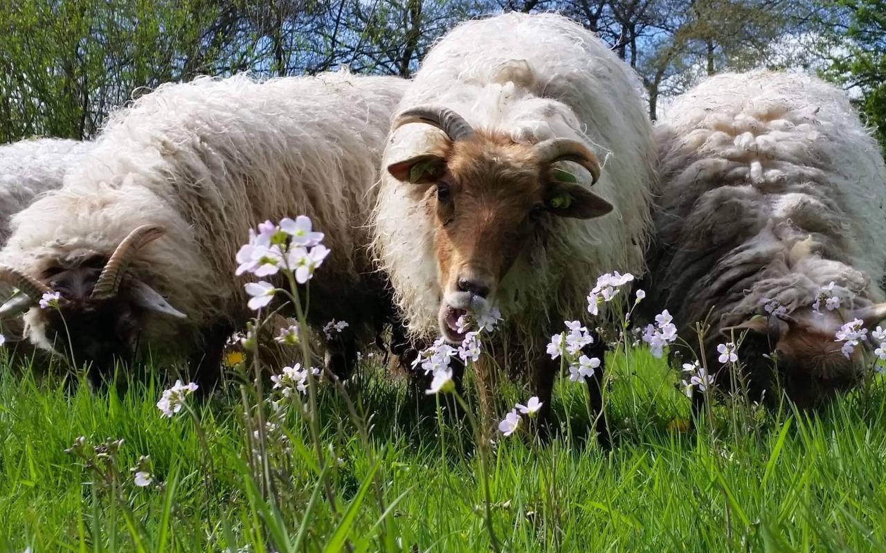Grazende schapen bij Balk.