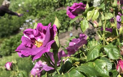 In zonnige delen van de tuin staan de rozen al volop in bloei.