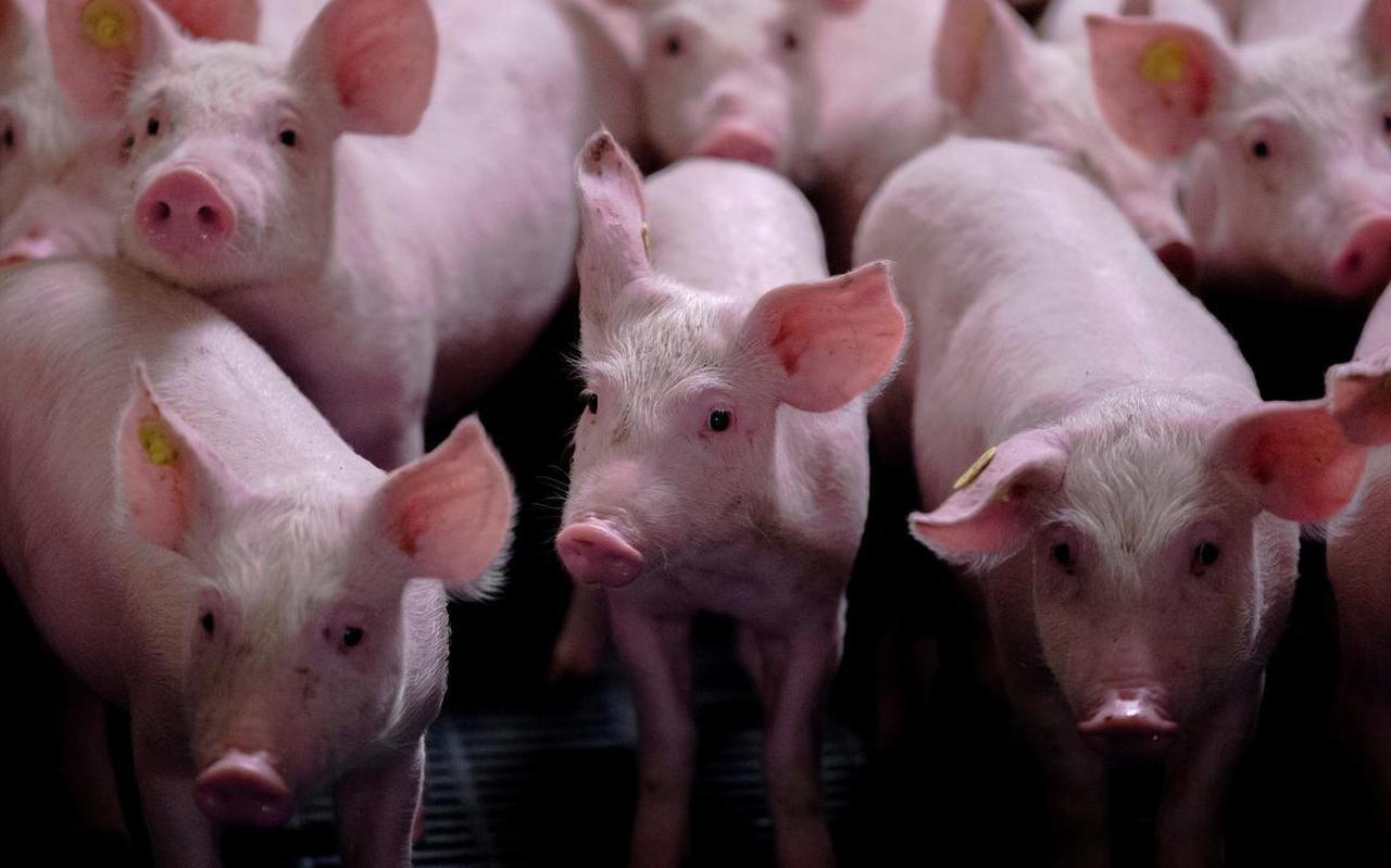 Archieffoto van varkens in een stal.