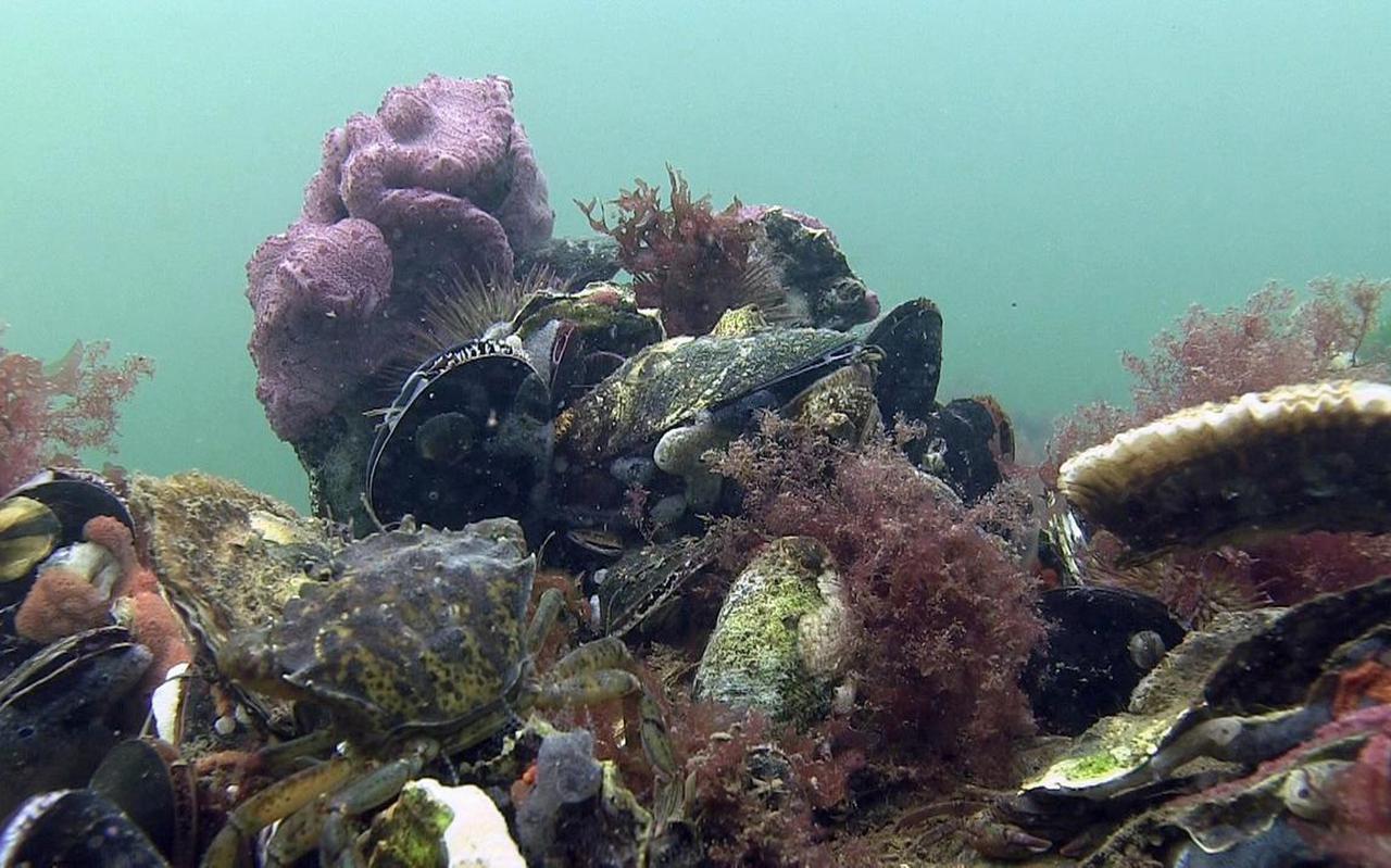 Schelpdierbank in de Noordzee