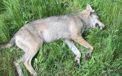 De wolf die 28 mei op de N381 in de buurt van Appelscha is doodgereden.