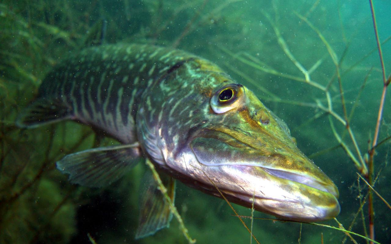 De snoek is een van de diersoorten die profiteert van de nieuwe inrichting van de oevers.