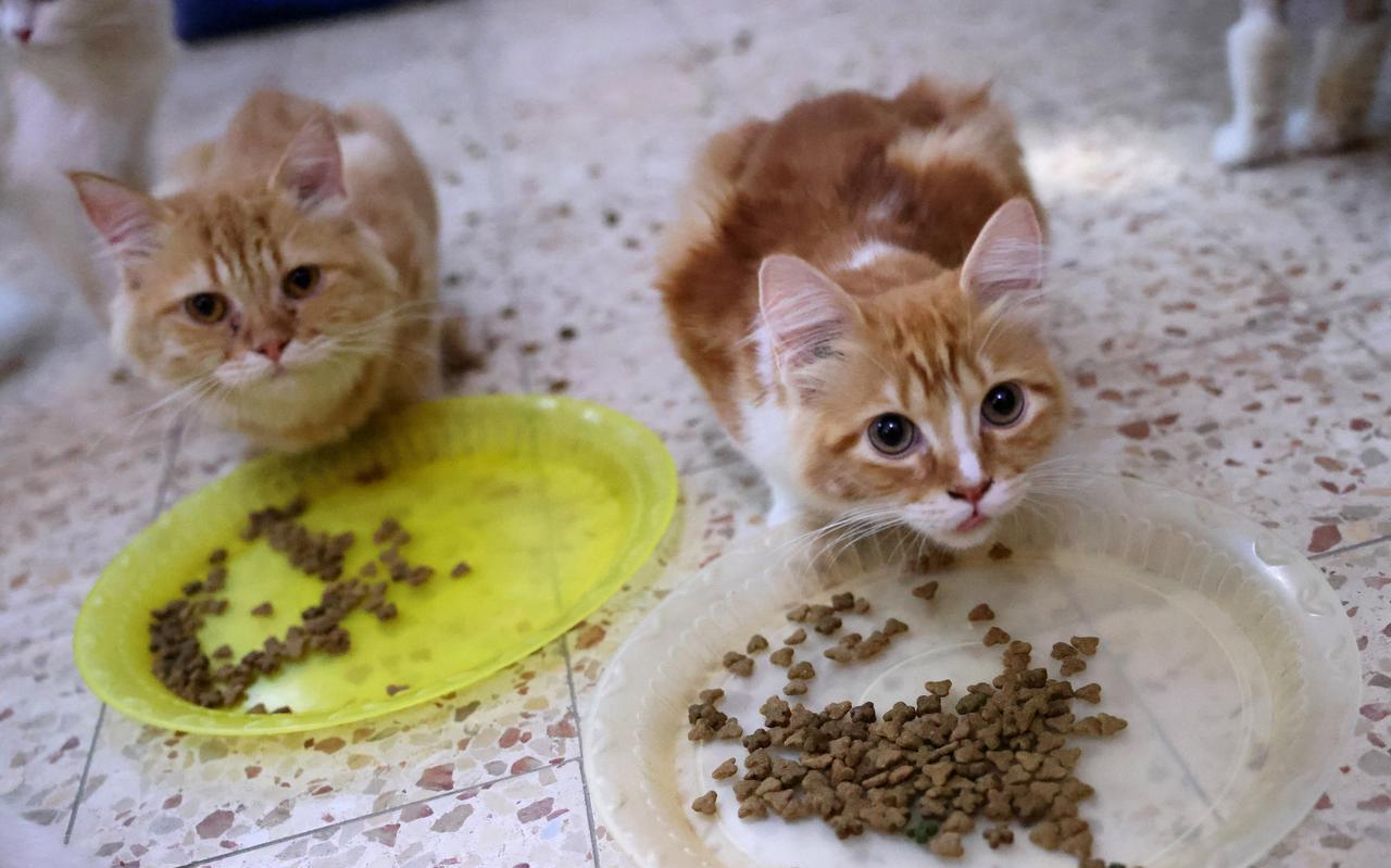 Voor kittens is de kattenziekte het meest gevaarlijk omdat ze vaak nog niet ingeënt zijn.