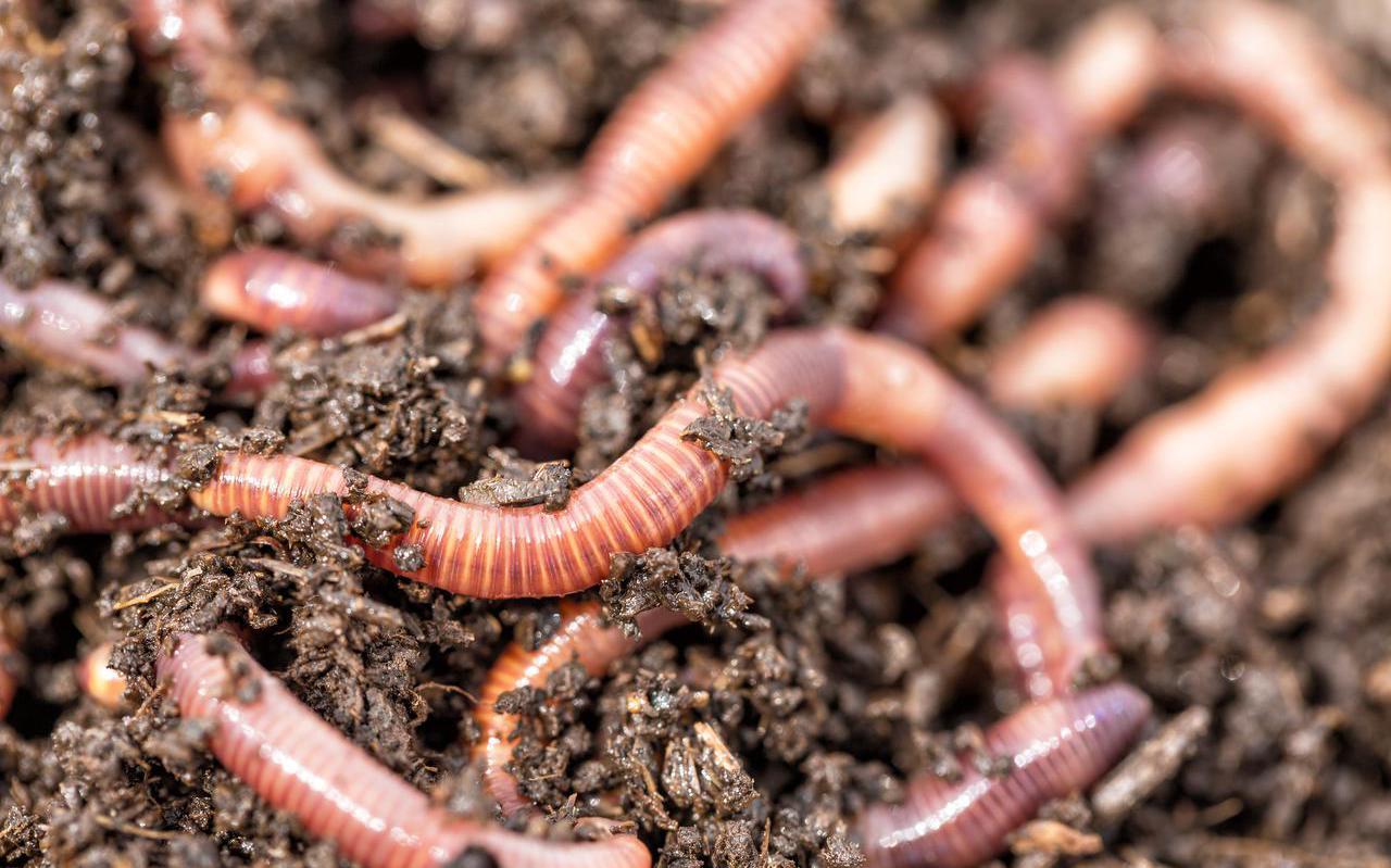 De ene regenworm is de andere niet.